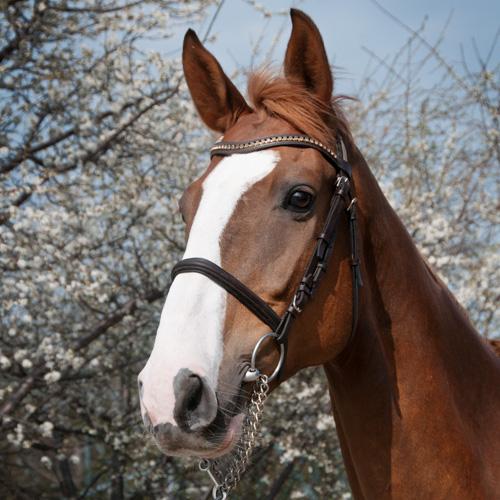 gångarter häst dressyr